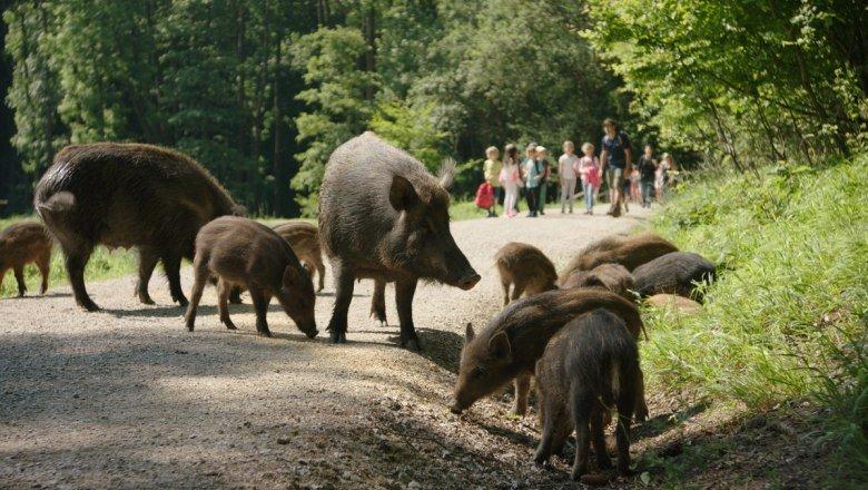 frei Laufende Wildschweinfamilie im Naturpark Sparbach