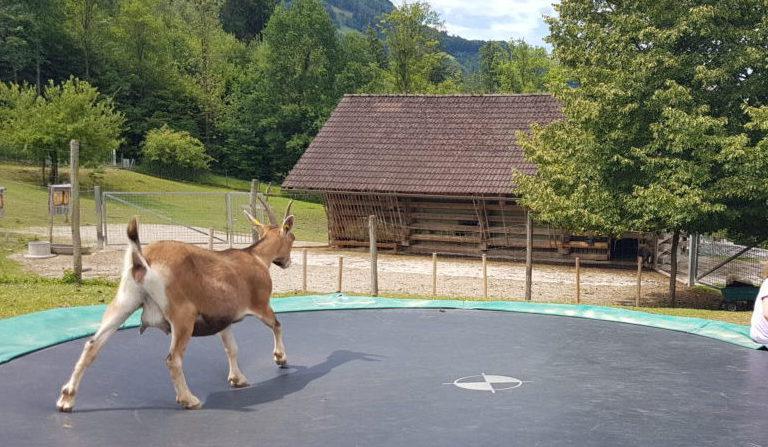 Ziege springt auf Kinder_Trampolin