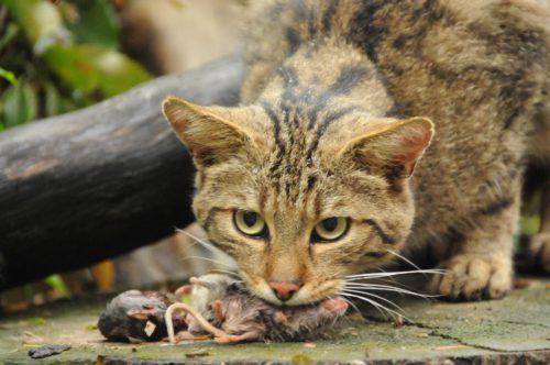 Wildkatze frisst während der Schaufütterung eine Maus