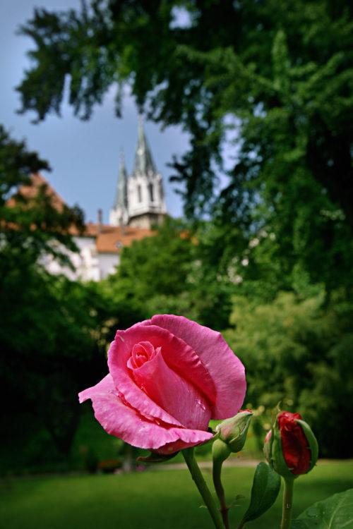 Rose mit Stift im Hintergrund