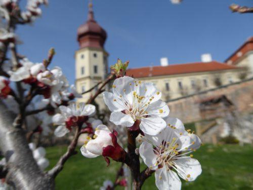 Blüte im Göttweiger Marillengarten.